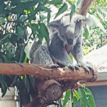 #koalass